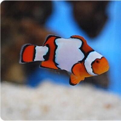 Snow Onyx Clownfish