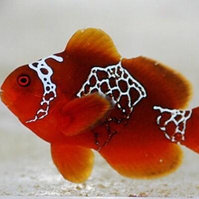 Lighting Maroon Clownfish