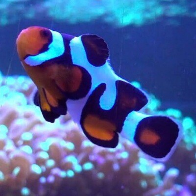 Mocha Vinci Clownfish Grade B