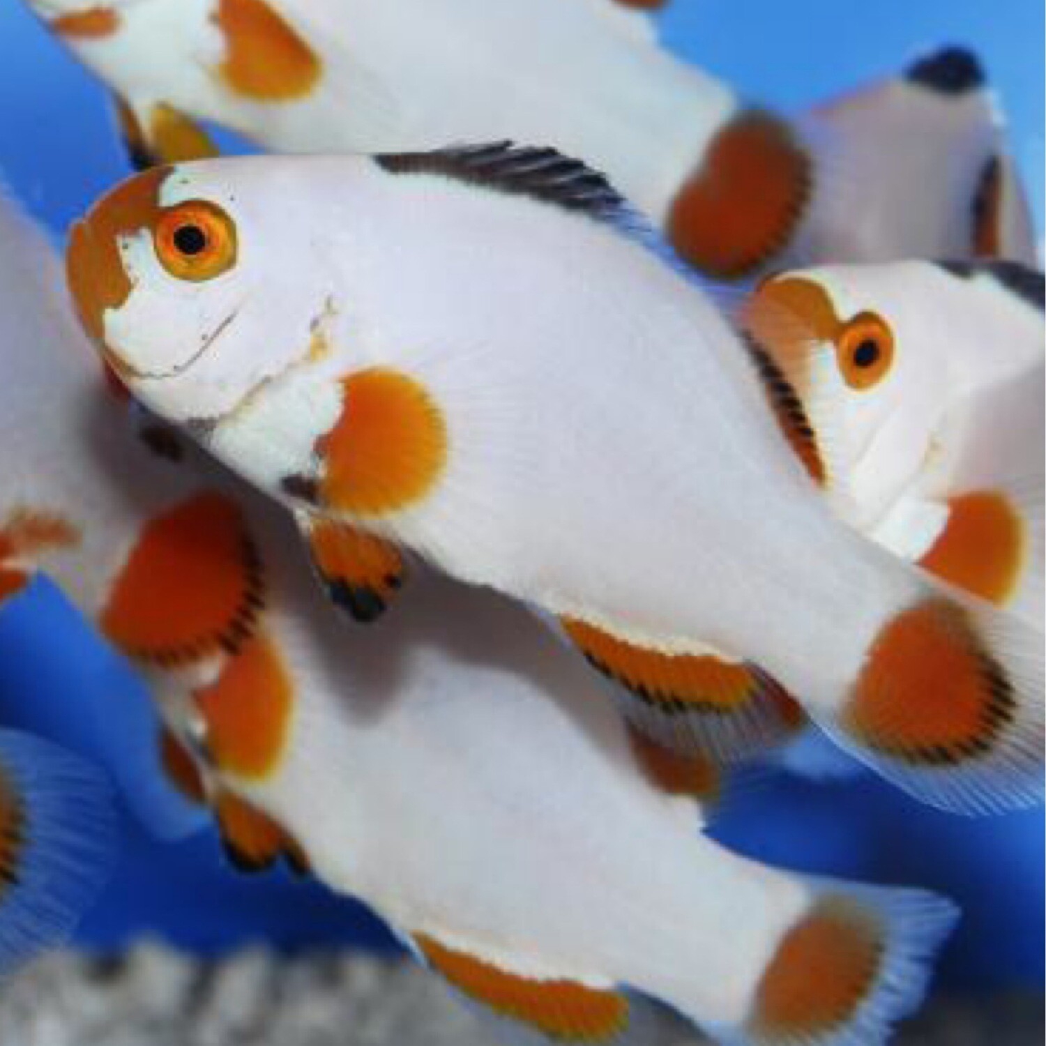 Maine Blizzard Clownfish