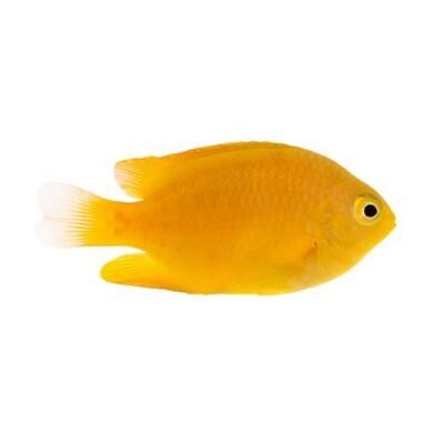 Lemon Damsel