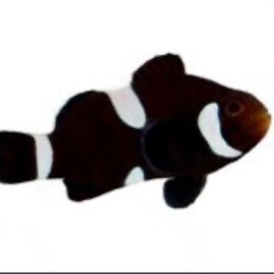 Darwin Black Misbar Clownfish