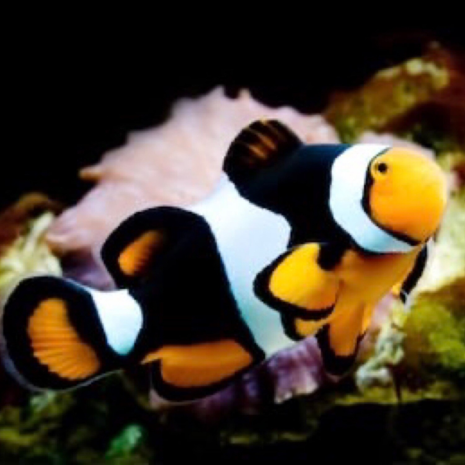 Black Photon Clownfish