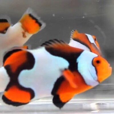 Picasso Clownfish Grade B