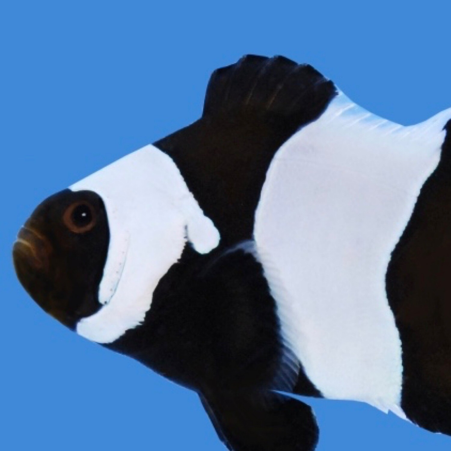 Wide Bar Black Gladiator Clownfish