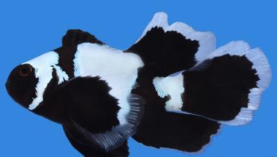 Phantom Longfin Clownfish