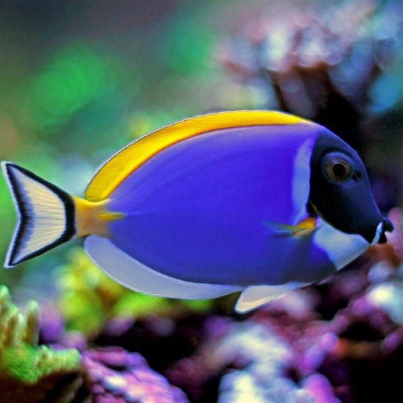 Powder Blue Tang Acanthurus Leucosternon