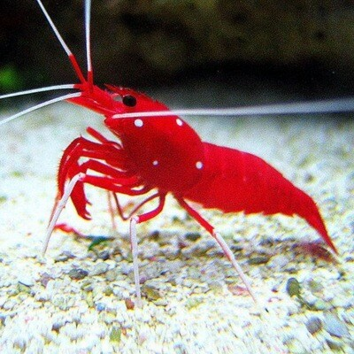 Fire Shrimp Lysmata Debelius Medium