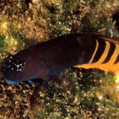 Red Tail Blenny Ecsenius Pulcher