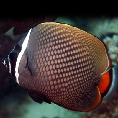 Pakistani Butterflyfish Chaetodon Collare