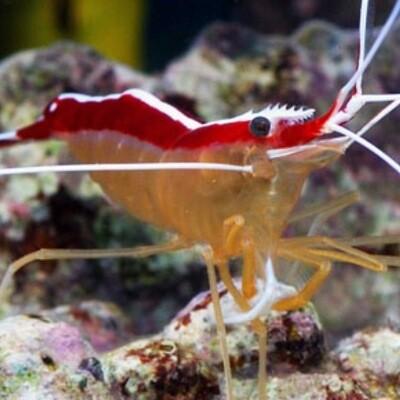 Cleaner Shrimp Lysmata Amboinensis