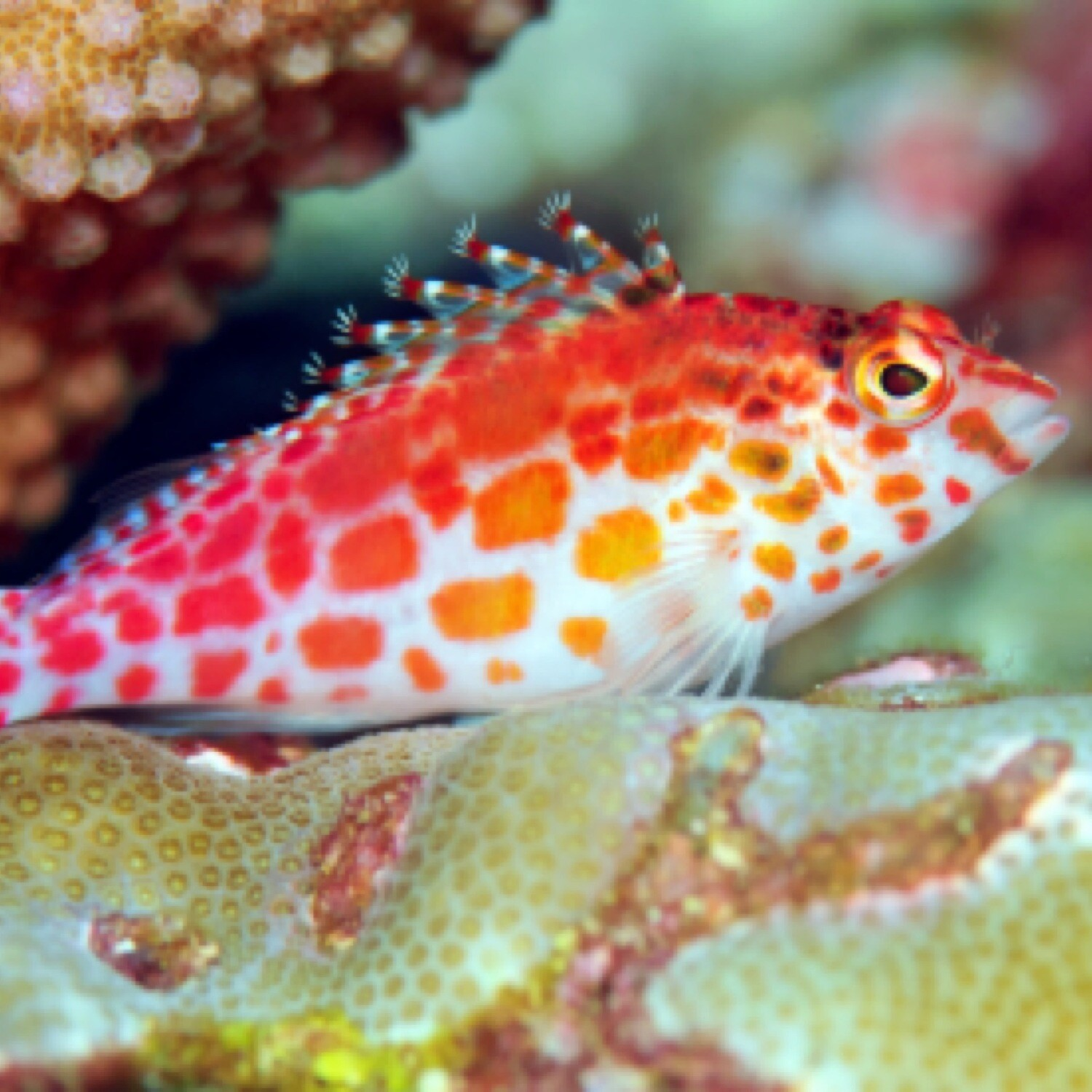 Coral Spotted Hawkfish