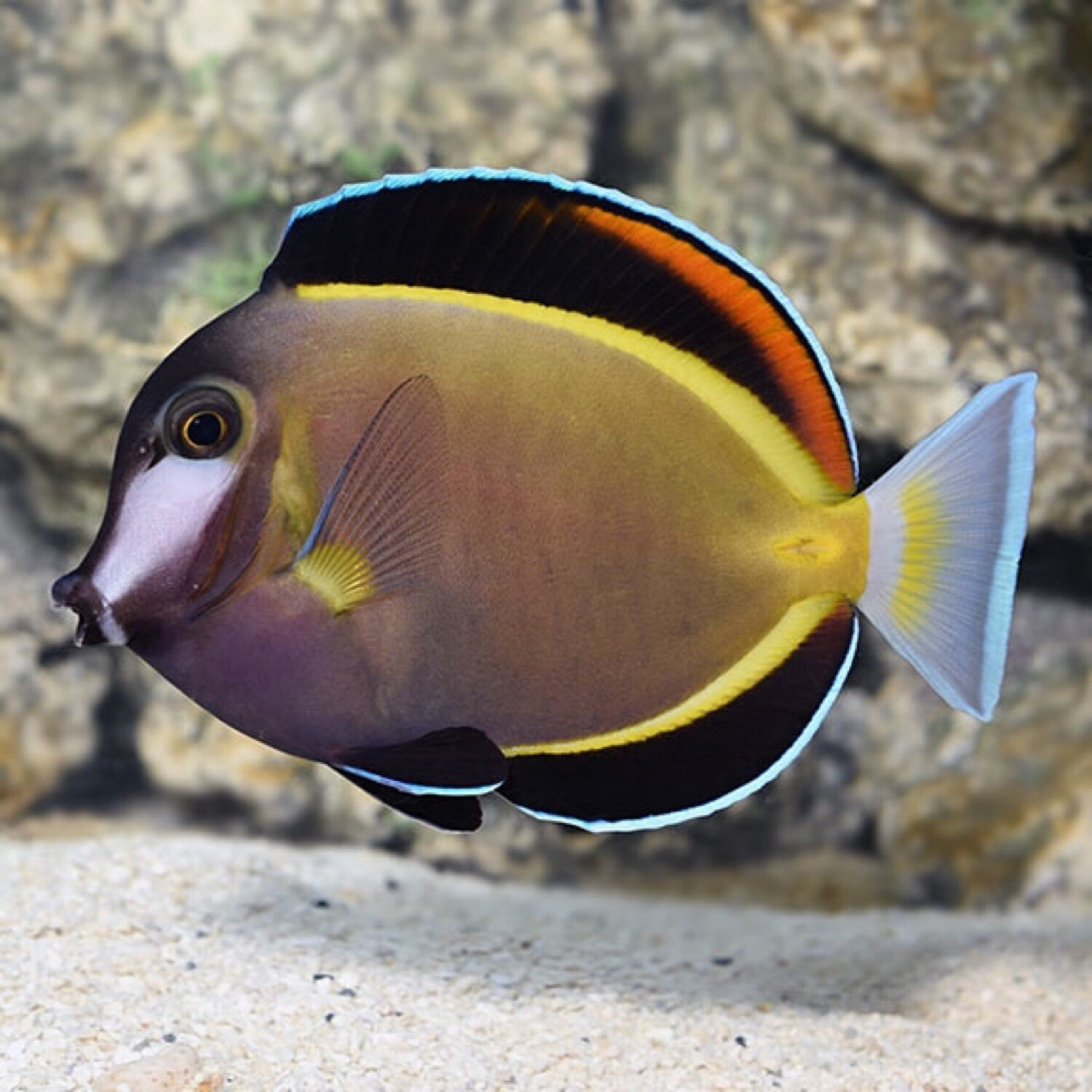 Powder Brown Tang
