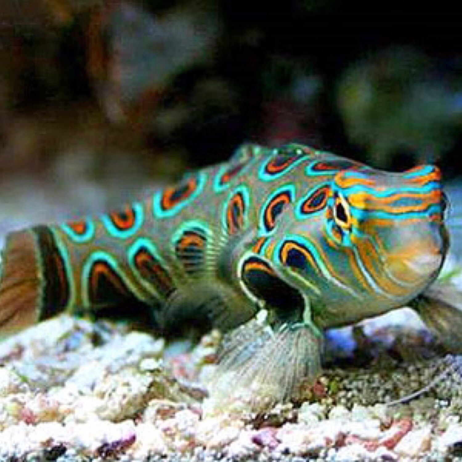 Spotted Manderine Goby