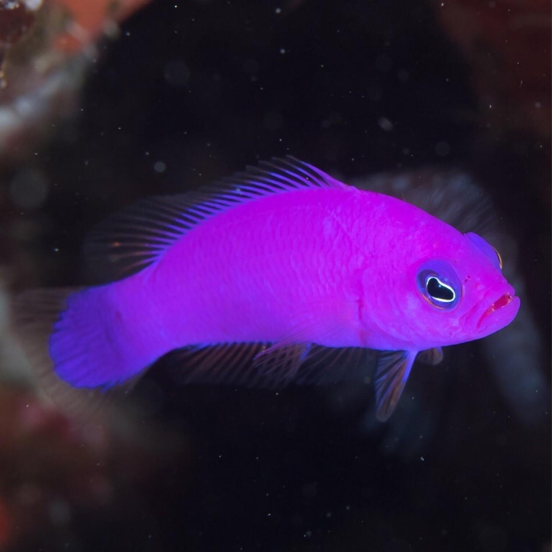 Purple Dottyback