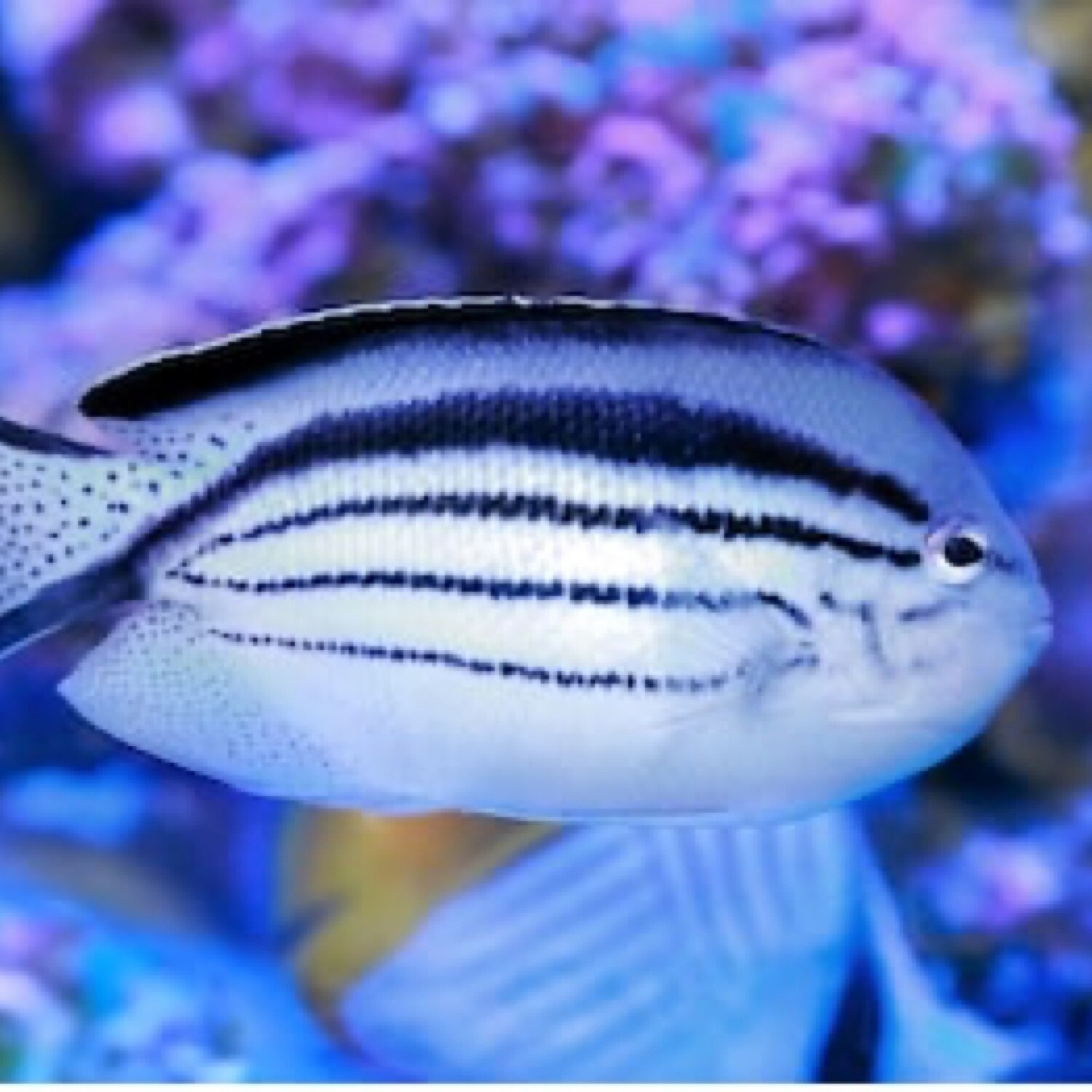 Lamarck Angelfish