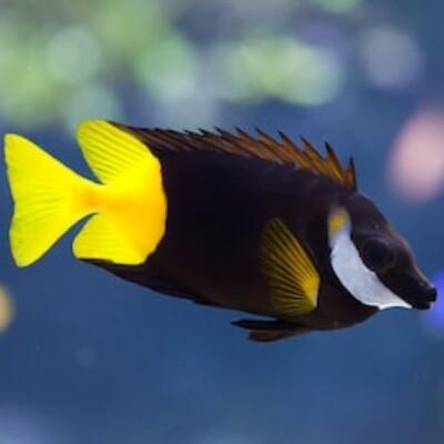 Bi-Colour Fiji Foxface