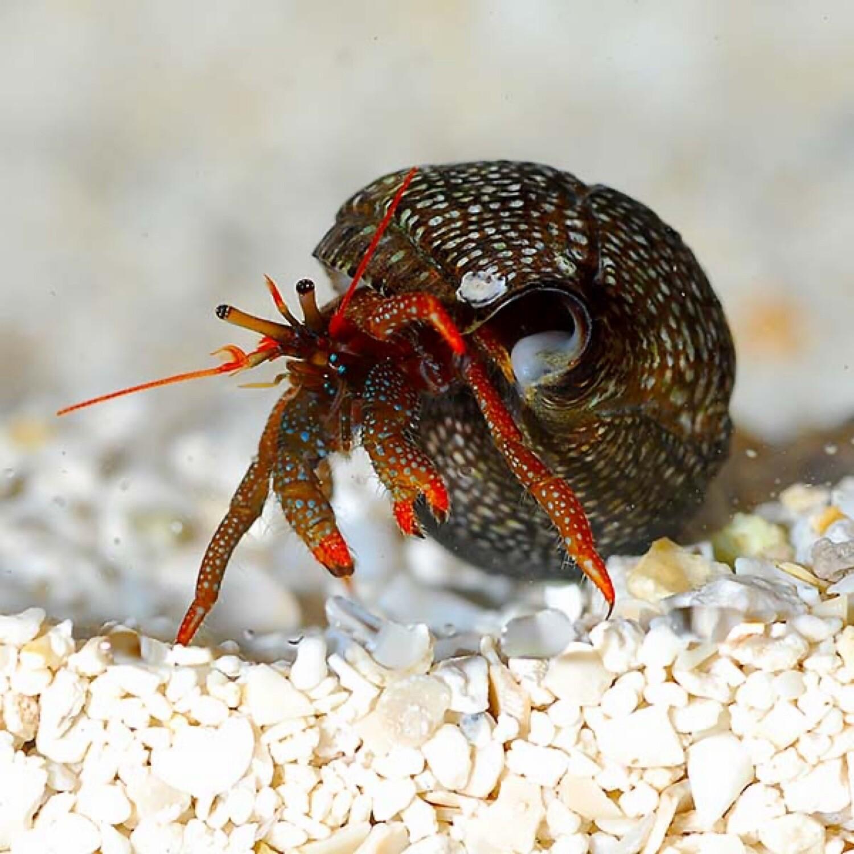 Red Tip Hermit Crab