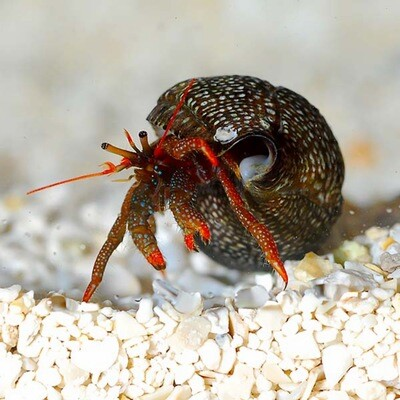 Red Tip Hermit Crab