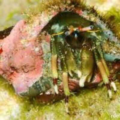 Yellow Tip Hermit Crab