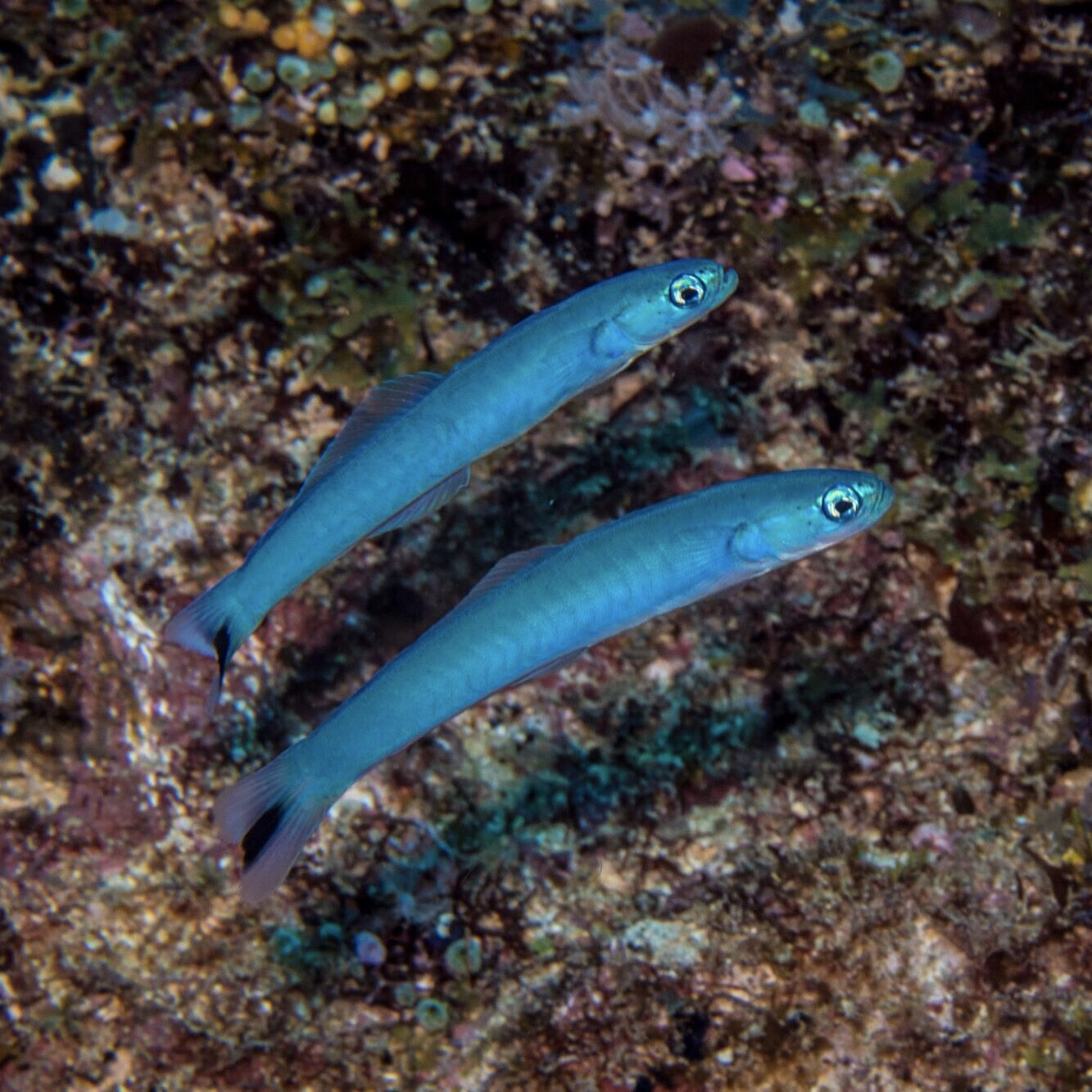 Blue Gudgeon Dartfish