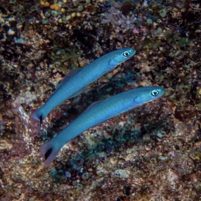 Blue Gudgeon Dartfish