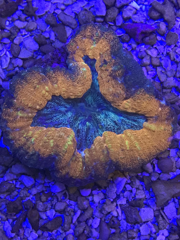 Aussie Fluoro Symphyllia