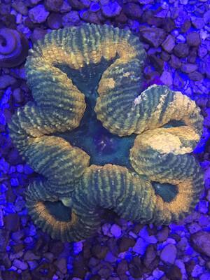 Aussie Ultra Symphyllia