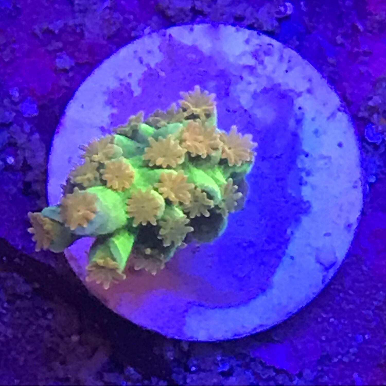 Reef Raft Orange Passion
