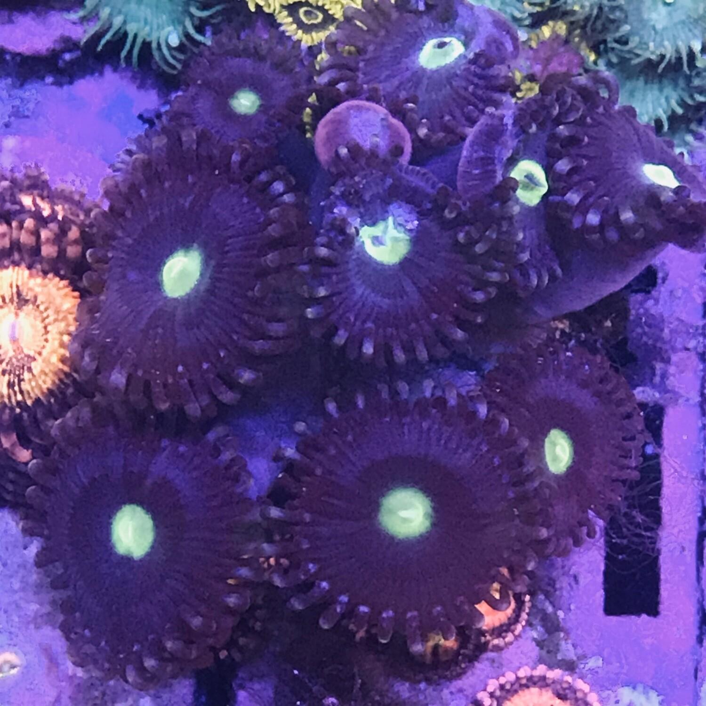 Purple Palythoa