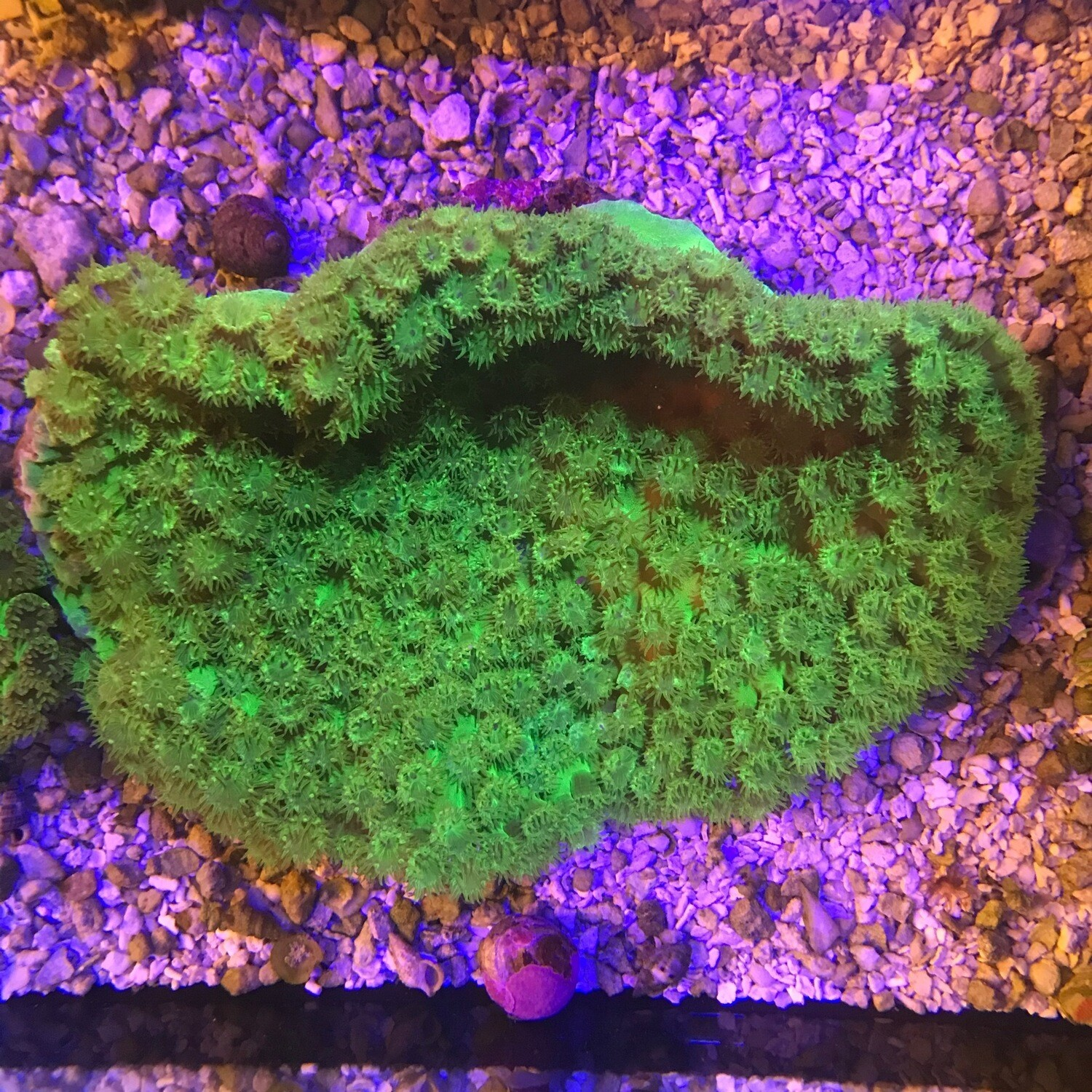Metallic Green Cup Coral