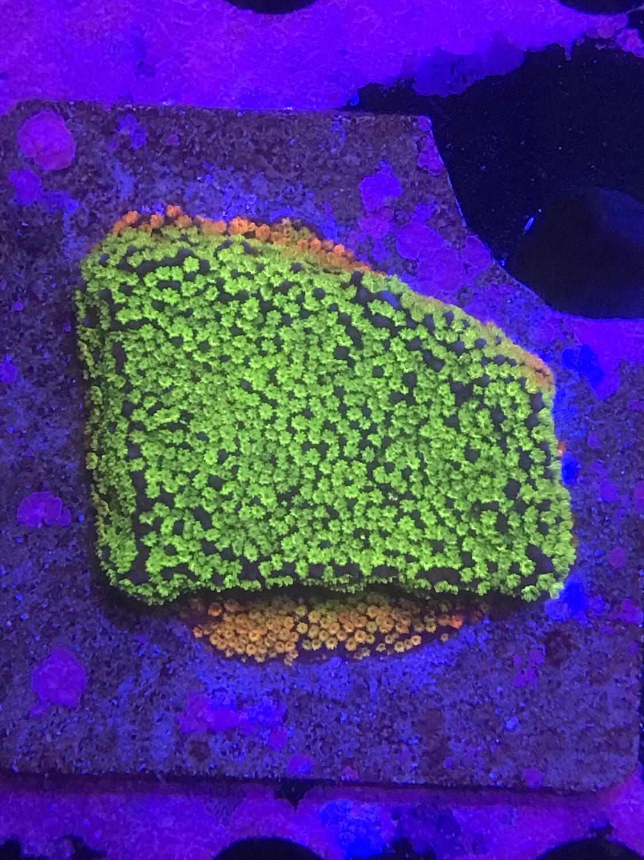 Rainbow Encrusting Montipora Lg Frag