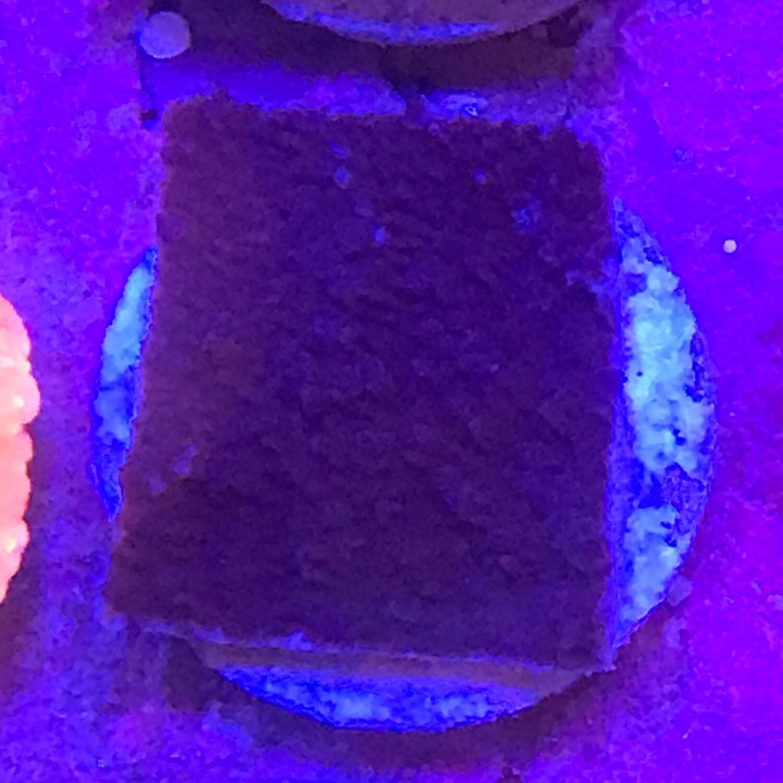 Purple Montipora Cap