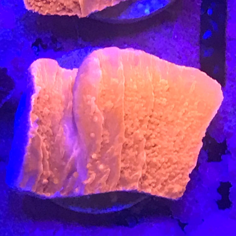 Orange Montipora Cap frag (25)