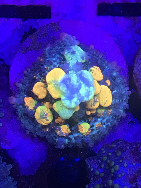 World Wide Corals OG Bounce Mushroom