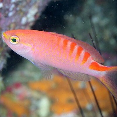 Anthias Tiger Queen