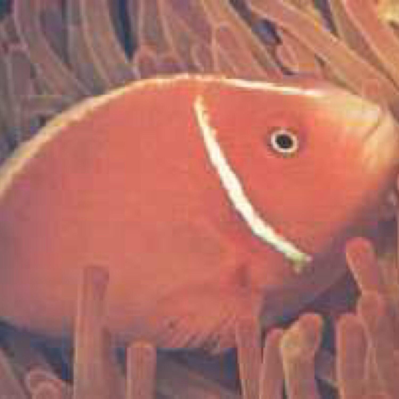 Pink Skunk Clownfish Indo