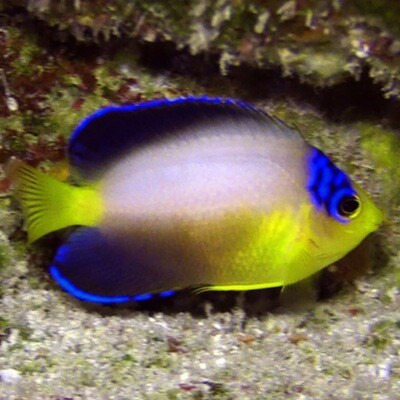 Pearlback Angelfish