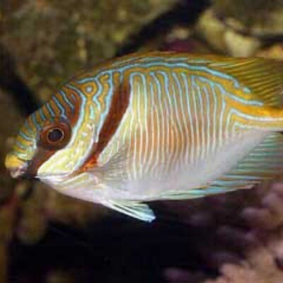 Blue and Gold Rabbit Fish