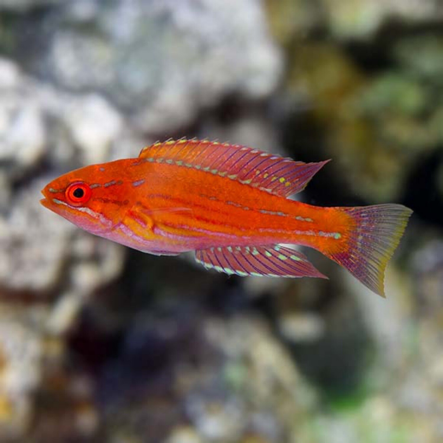 Royal Flasher Wrasse