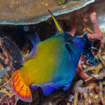 Red tail Aiptasia eating Filefish