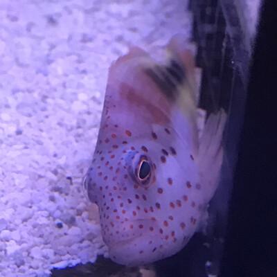 Freckle face Hawkfish Lg