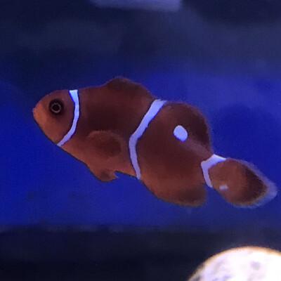 White Strip Maroon Clownfish