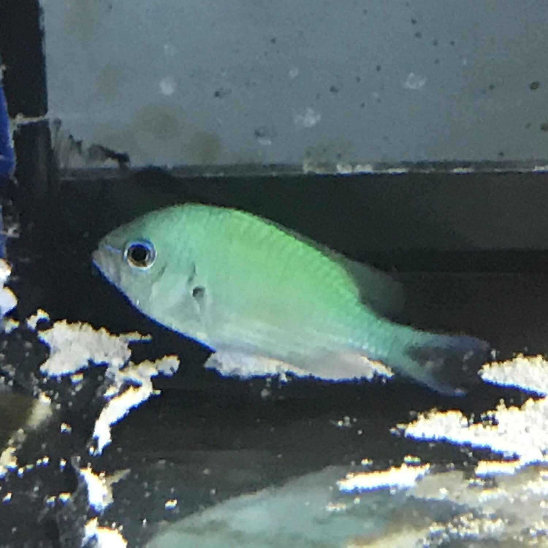 Green/Blue Chromis