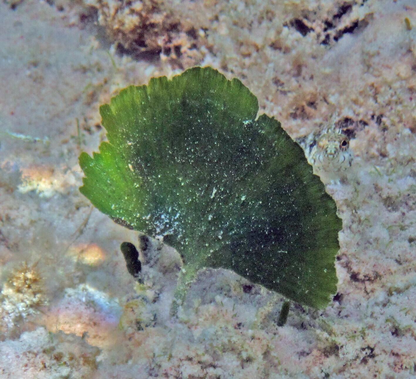 Mermaid Fan Macro Algae