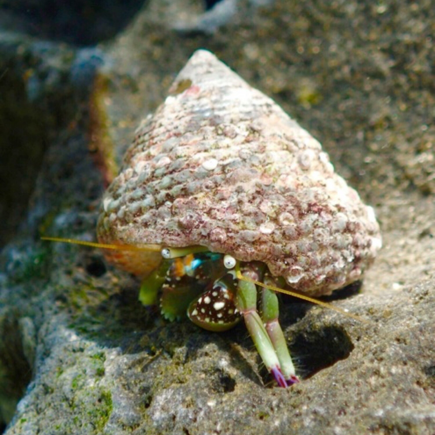 Green legged hermit crab