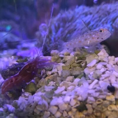 Tangaroa Shrimp Goby & Red Pistol Shrimp paired