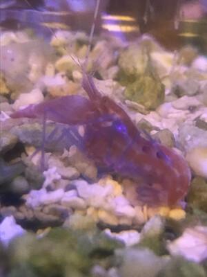 Red Pistol Shrimp