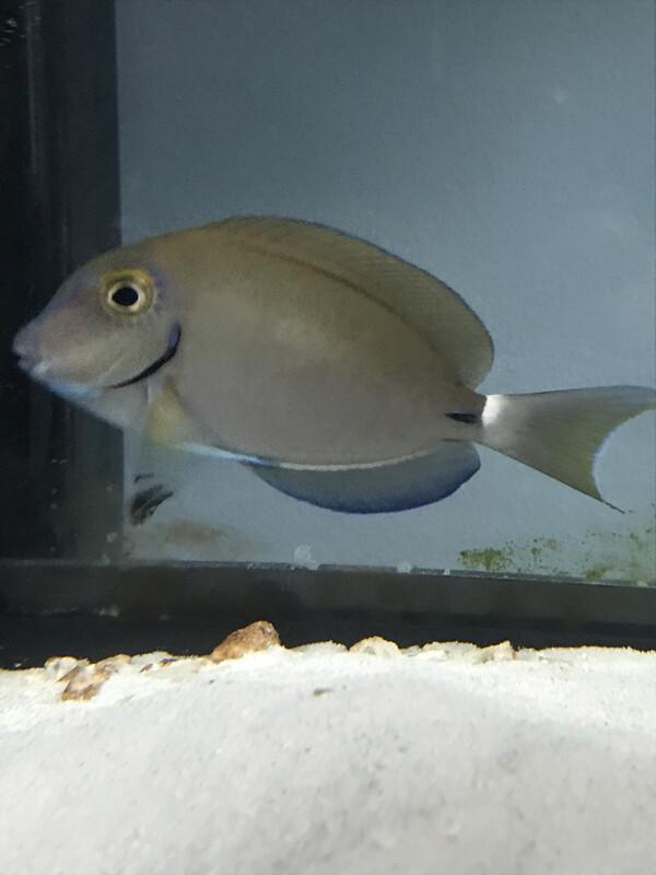 Ocean Sugeonfish