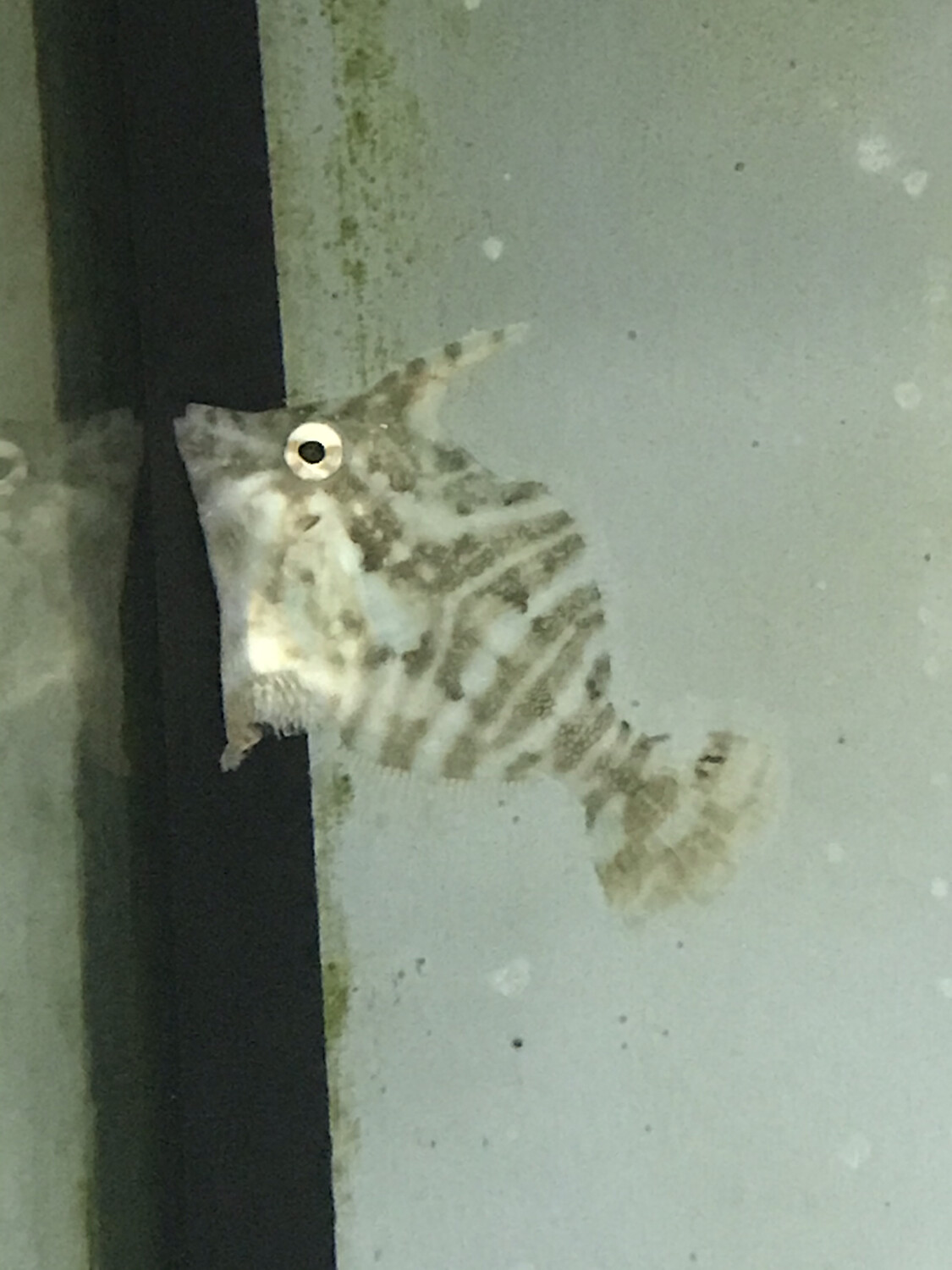 Zebra Filefish
